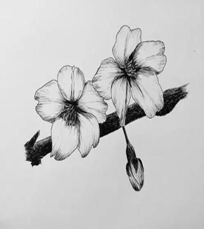 櫻花怎么畫?如何畫出好看的櫻花?