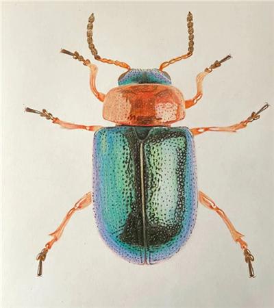 甲殼蟲怎么畫?詳細的彩鉛繪畫步驟有哪些?