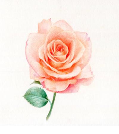 一枝玫瑰花怎么畫?教你畫一朵香檳色玫瑰花