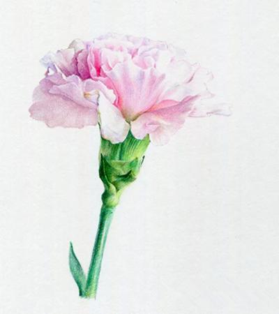 粉色康乃馨怎么画?彩铅绘画步骤有几步?