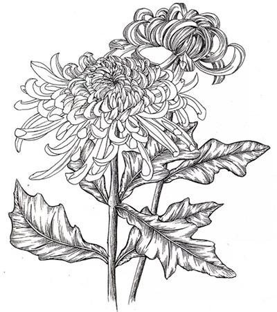简单的菊花线描怎么画?教你画一幅菊花简笔画
