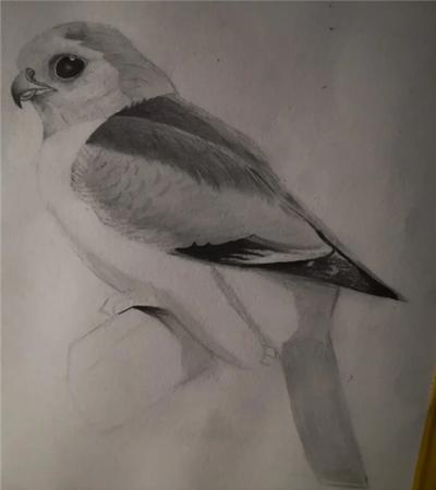 鹦鹉怎么画?素描小鸟的步骤有几步?