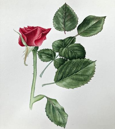 红玫瑰怎么画?超详细的写实红玫瑰教程分享