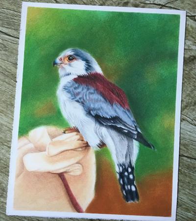 小鹦鹉怎么画?详细的彩铅绘画步骤有哪些?
