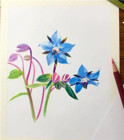 琉璃苣怎么画?简单的彩铅画法是什么?