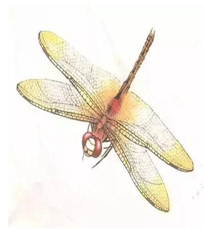 蜻蜓怎么画?详细的工笔画法是什么?