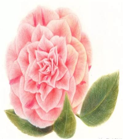 山茶花怎么画?粉色山茶花的彩铅步骤有几步?