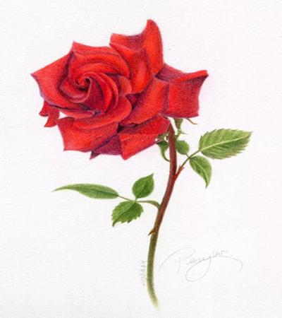 红玫瑰怎么画?玫瑰花有哪些彩铅绘画步骤?