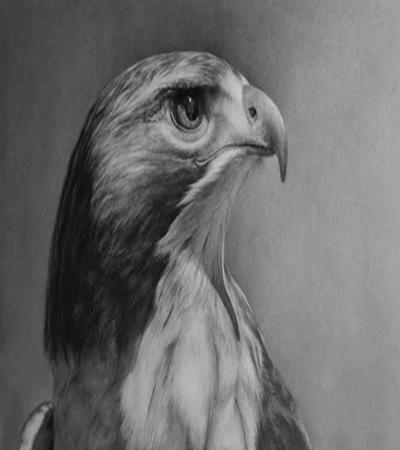 鹰隼怎么画?有哪些素描绘画步骤?