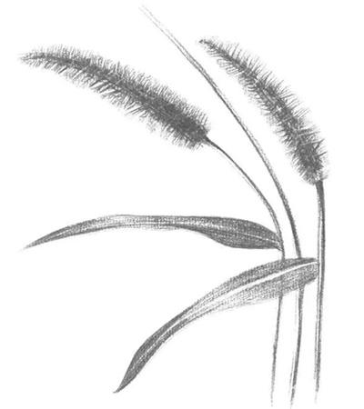 毛毛草怎么画?简单的绘画步骤有几步?