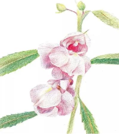 凤仙花怎么画?简单的彩铅画法是什么?