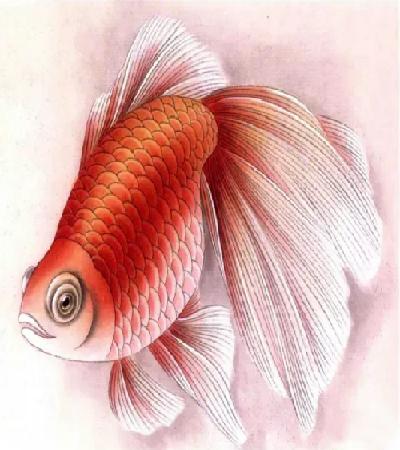 红金鱼怎么画?有哪些绘画步骤?