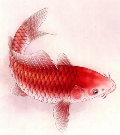 红鲤鱼怎么画?有哪些设色步骤?