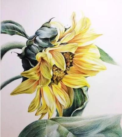 向日葵怎么画?有哪些绘画步骤?