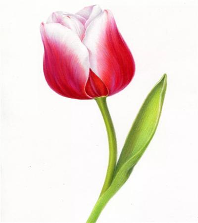 大红郁金香怎么画?具体有哪些绘画步骤?
