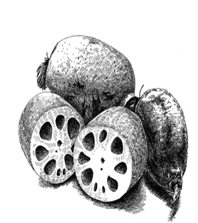 莲藕怎么画?简笔画教程是什么?