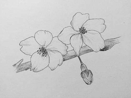 钢笔画樱花的画法